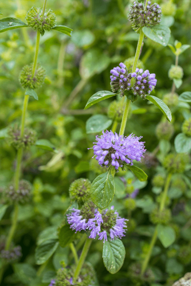 Pennyroyal: 10 Plants That Repel Flies Naturally and Keep the Home Bug-Free