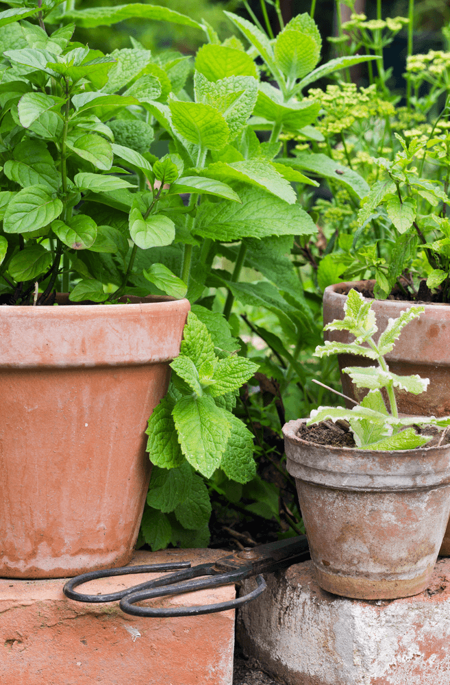 Peppermint - Mosquitoes Repellent Plants