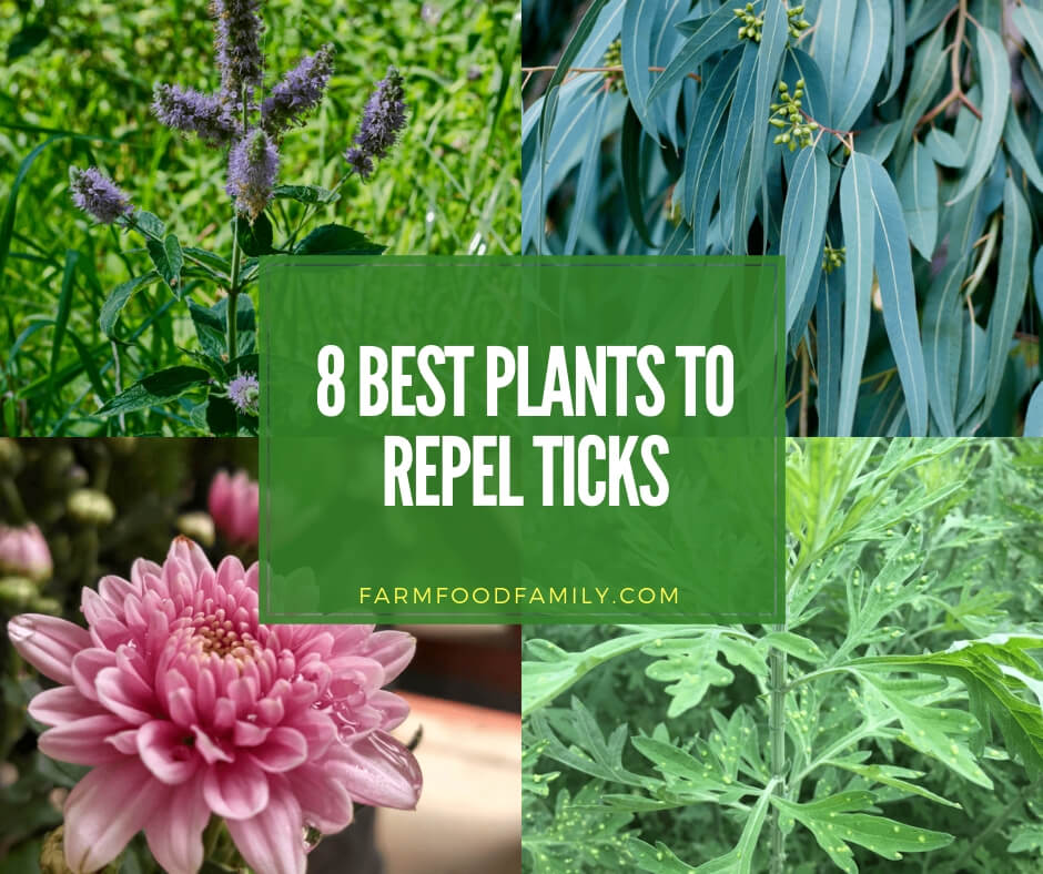 Best plants that repel ticks naturally