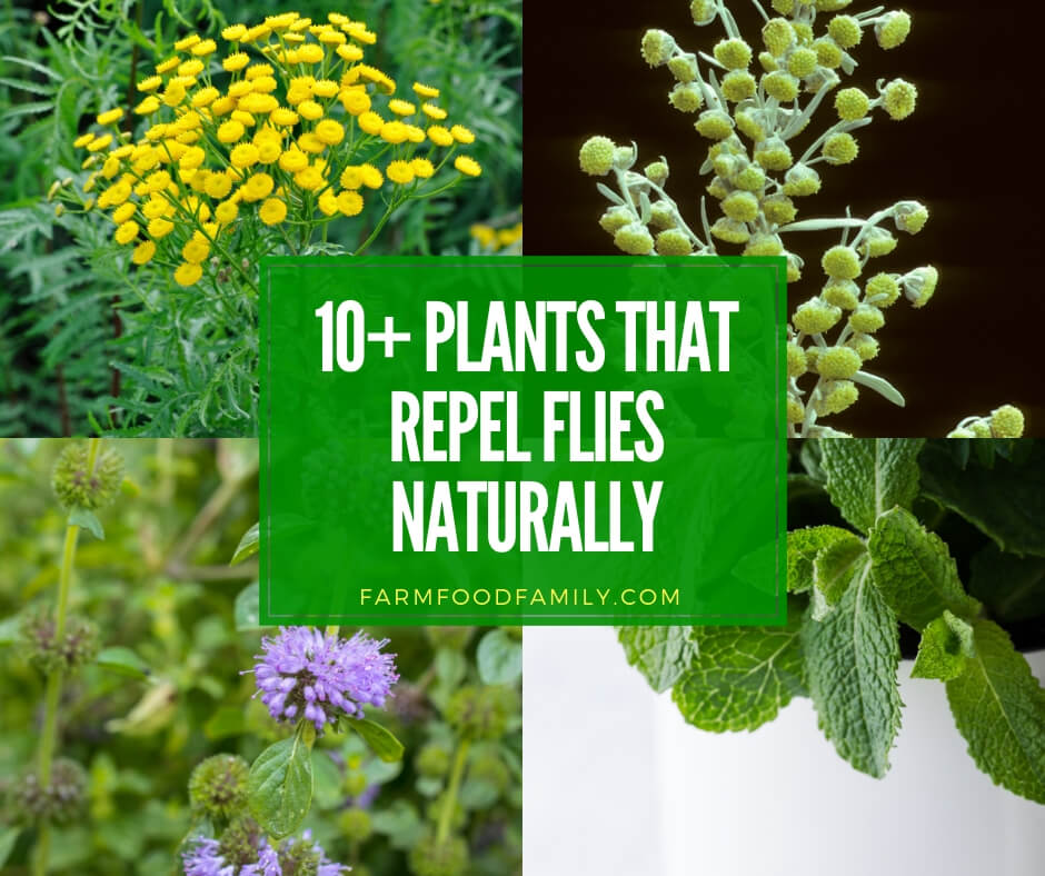 best plants that repel flies naturally