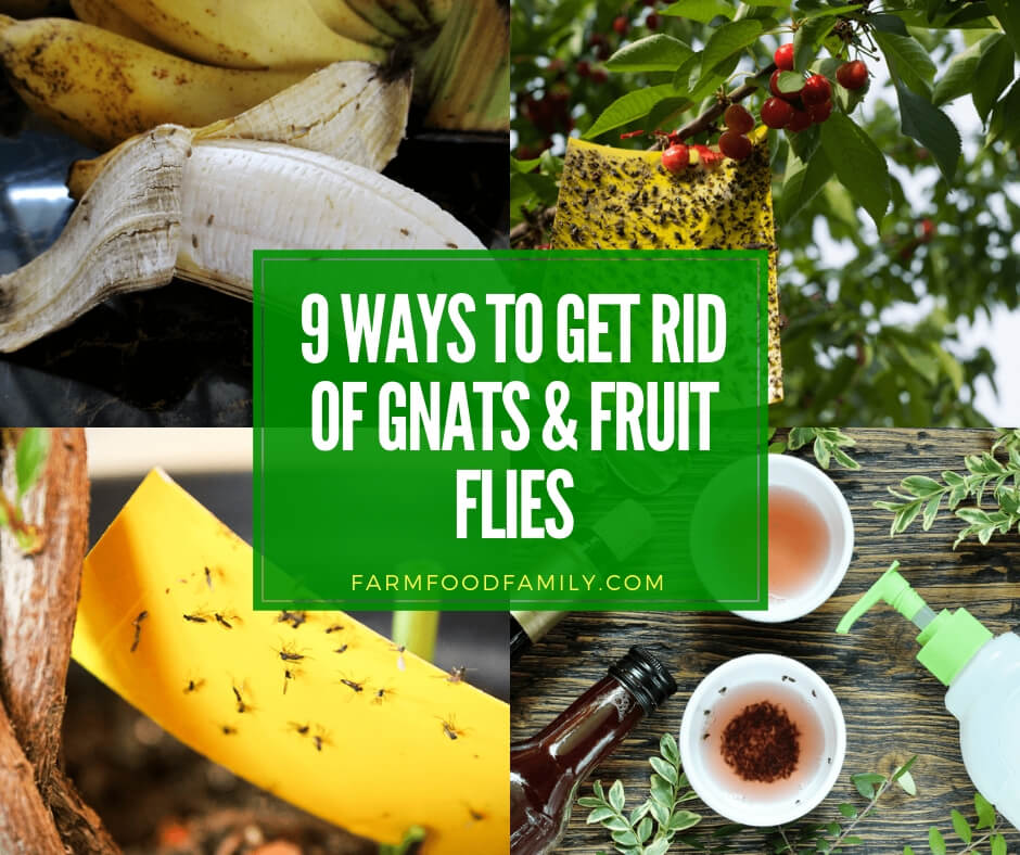 best ways to get rid of gnats and fruit flies