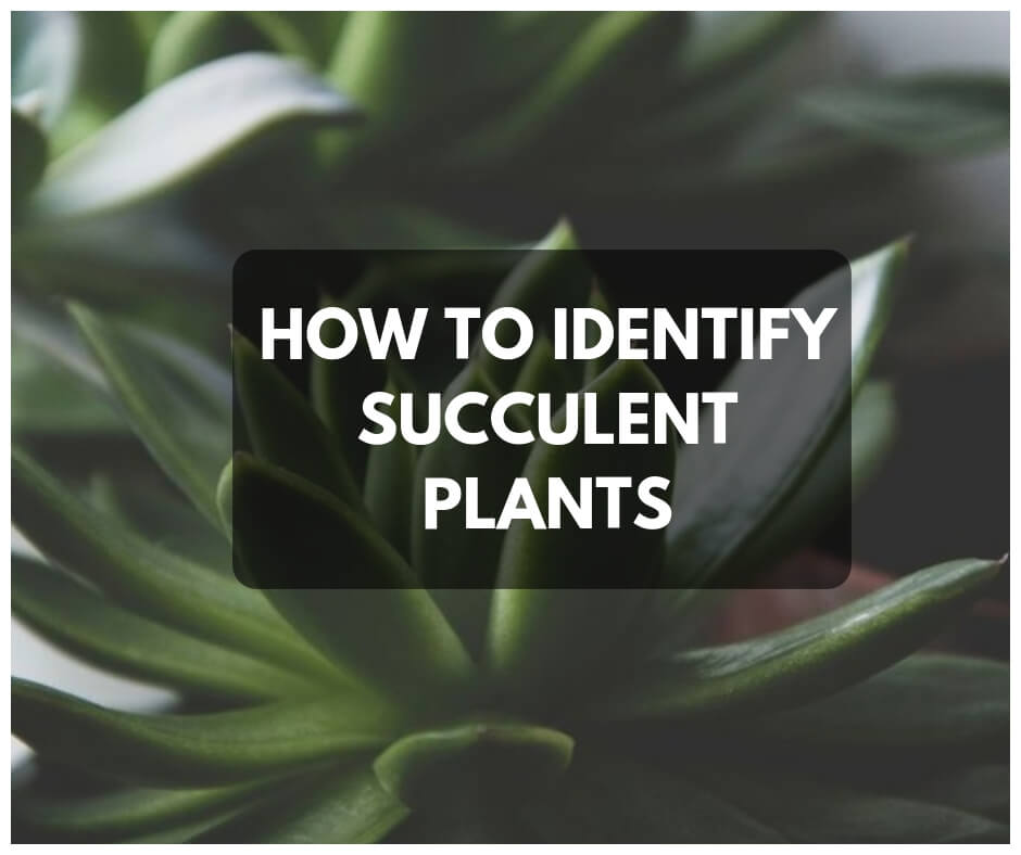 Succulent Identification 3 Ways To Identify Succulent Plants With