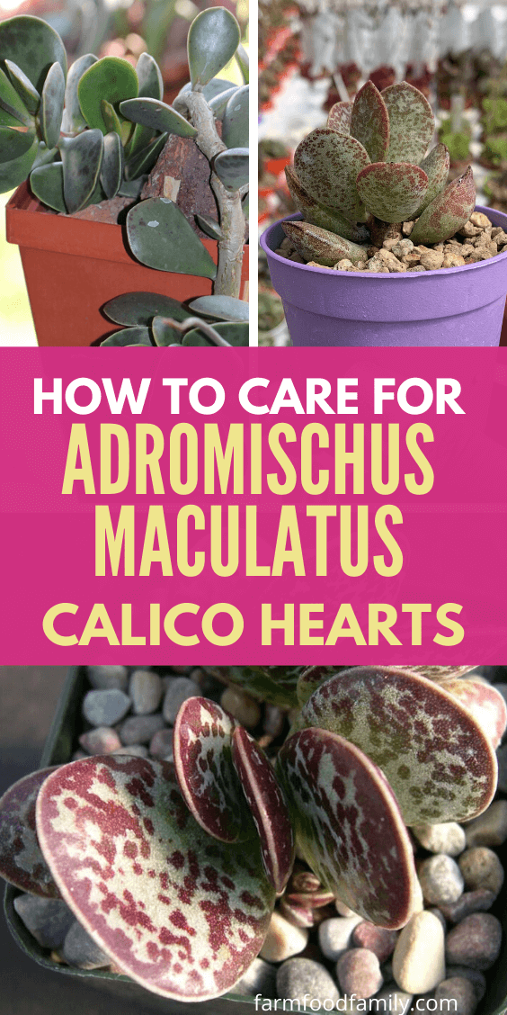 Adromischus Maculatus 'Calico Hearts' Wiki, Growing, Care, Problems