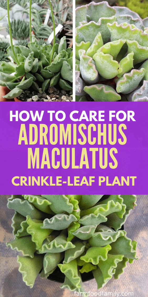 How to grow and care for Adromischus Cristatus 'Crankle-Leaf plant' or 'Key Lime Pie' succulent