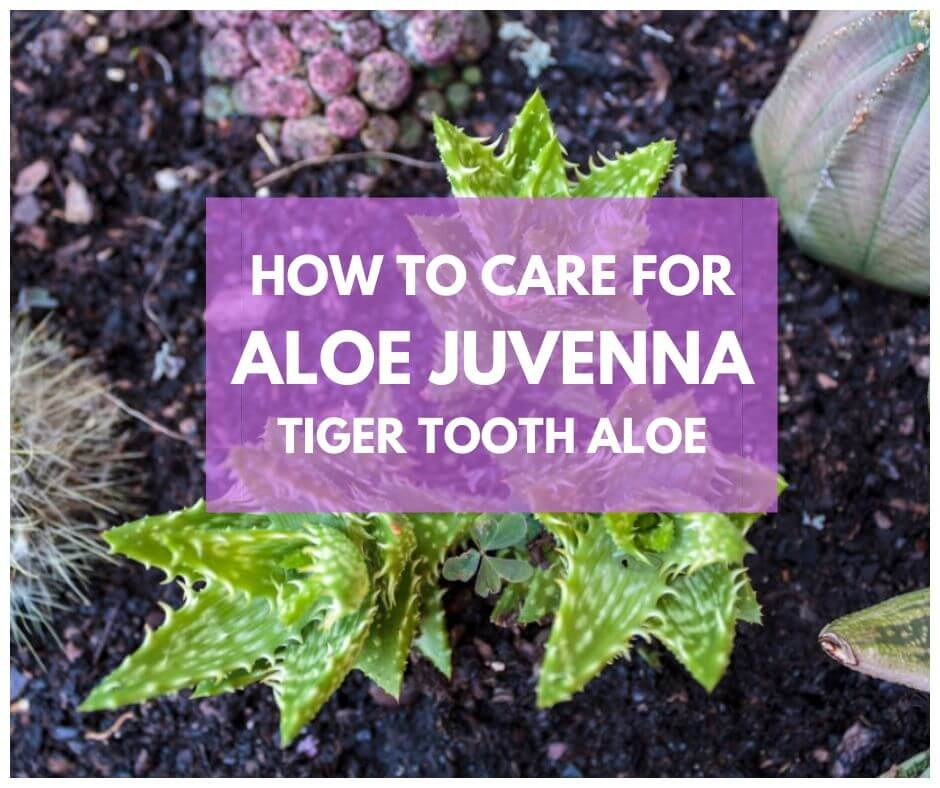 Aloe Juvenna Tiger Tooth Aloe Wiki Facts Growing Care Problems