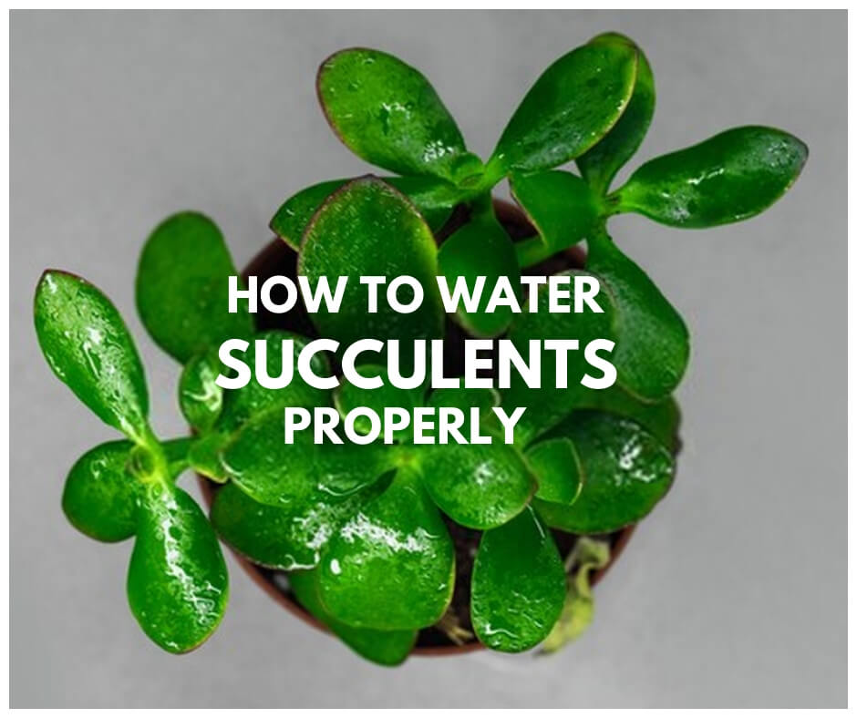 How To Water Succulents Properly Indoors Outdoors Without