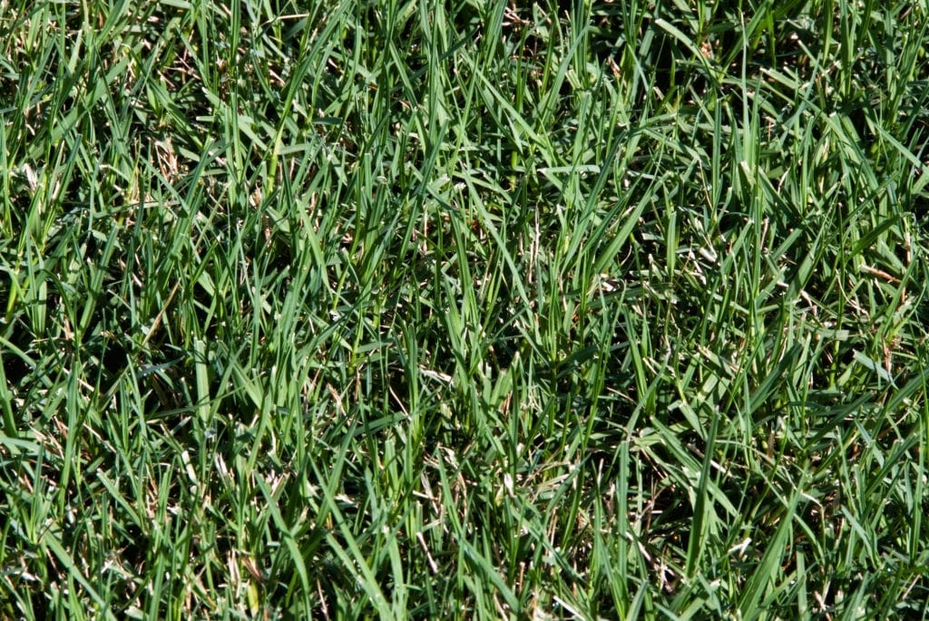 Pictures of Bermuda grass