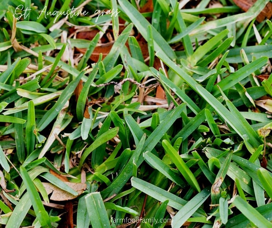 Pictures of St. Augustine grass