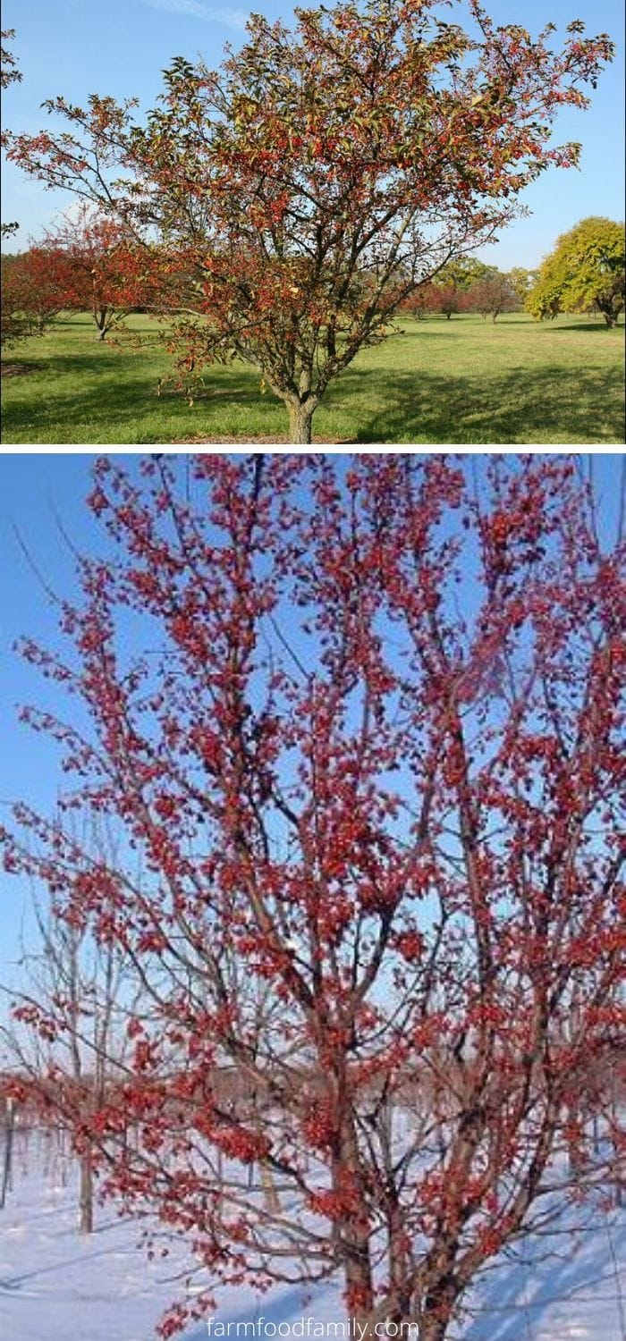 Types of crabapples: Red jewel crabapple (Malus Jewelcole' or Malus 'Red Jewel')