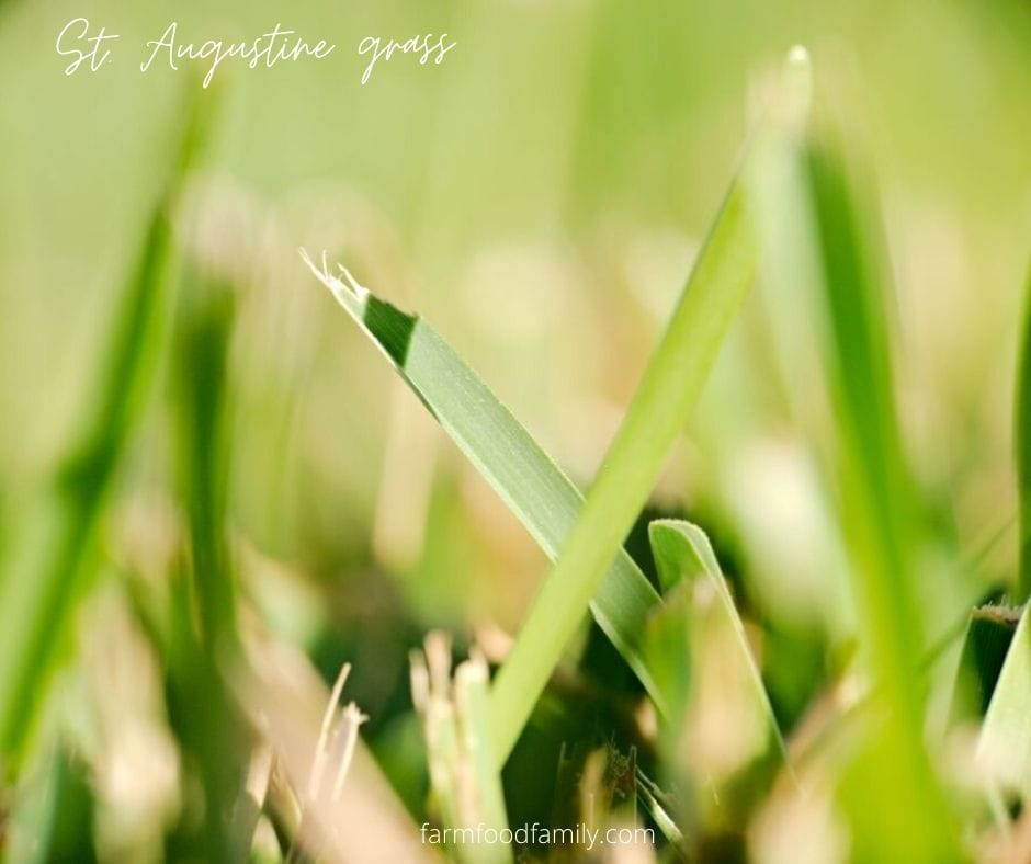 What does St. Augustine grass look like
