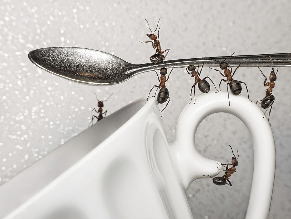 Ants with coffee