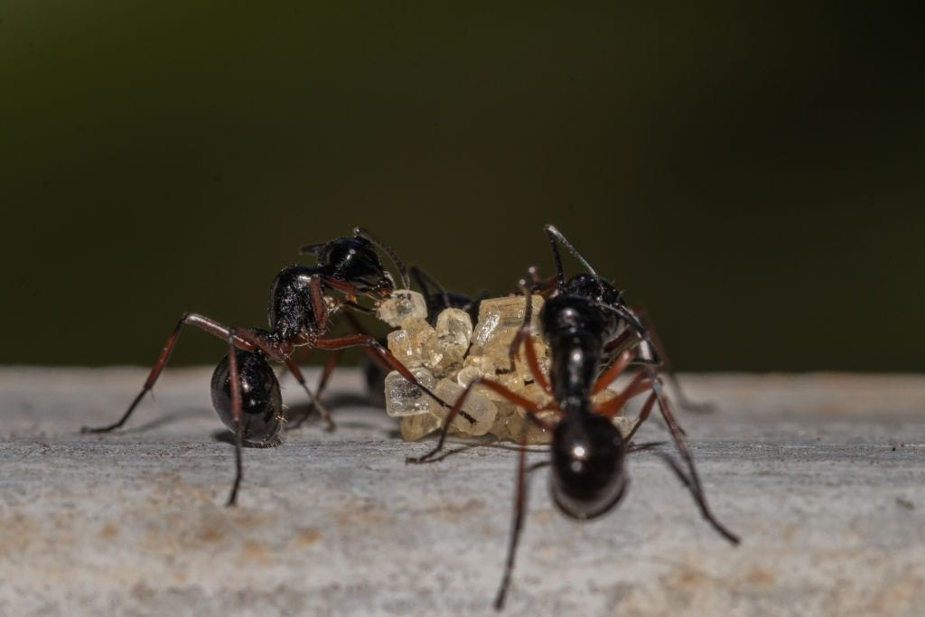 Why are sugar ants infesting my home and why should I get rid of them?