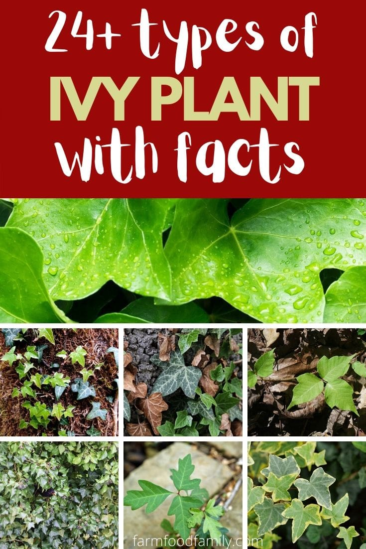Types of Ivy plant with picture and facts