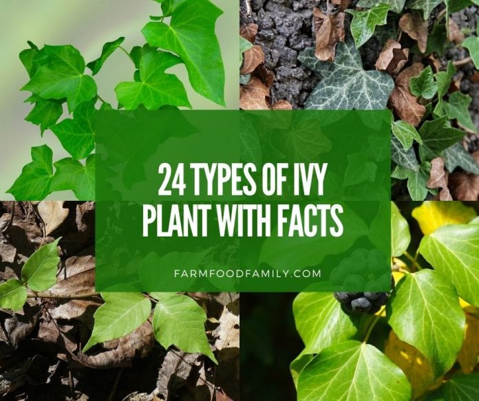 Ivy plants with facts