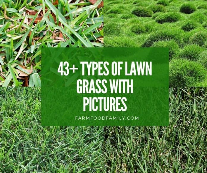 Types of lawn grass with names and pictures