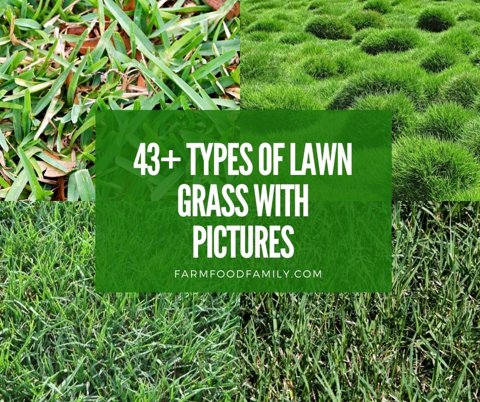 43 Different Types Of Lawn Grass For Your Yard (Names & Pictures)