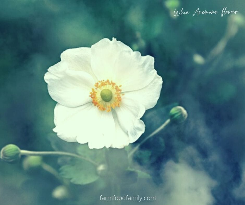 White anemone flower meaning