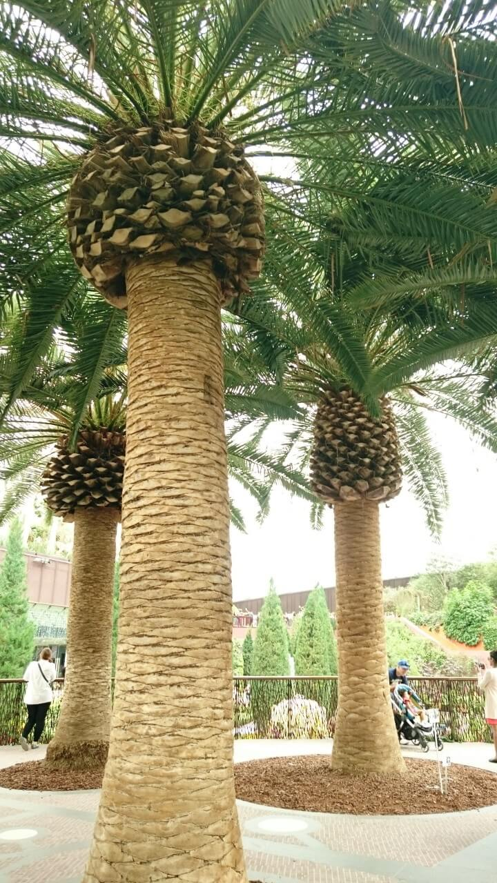 Types of palm trees in Arizona