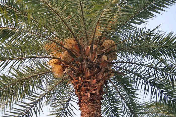 Types of palm trees in North Florida