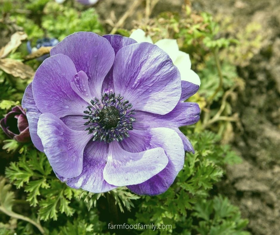 Purple anemone flower meaning