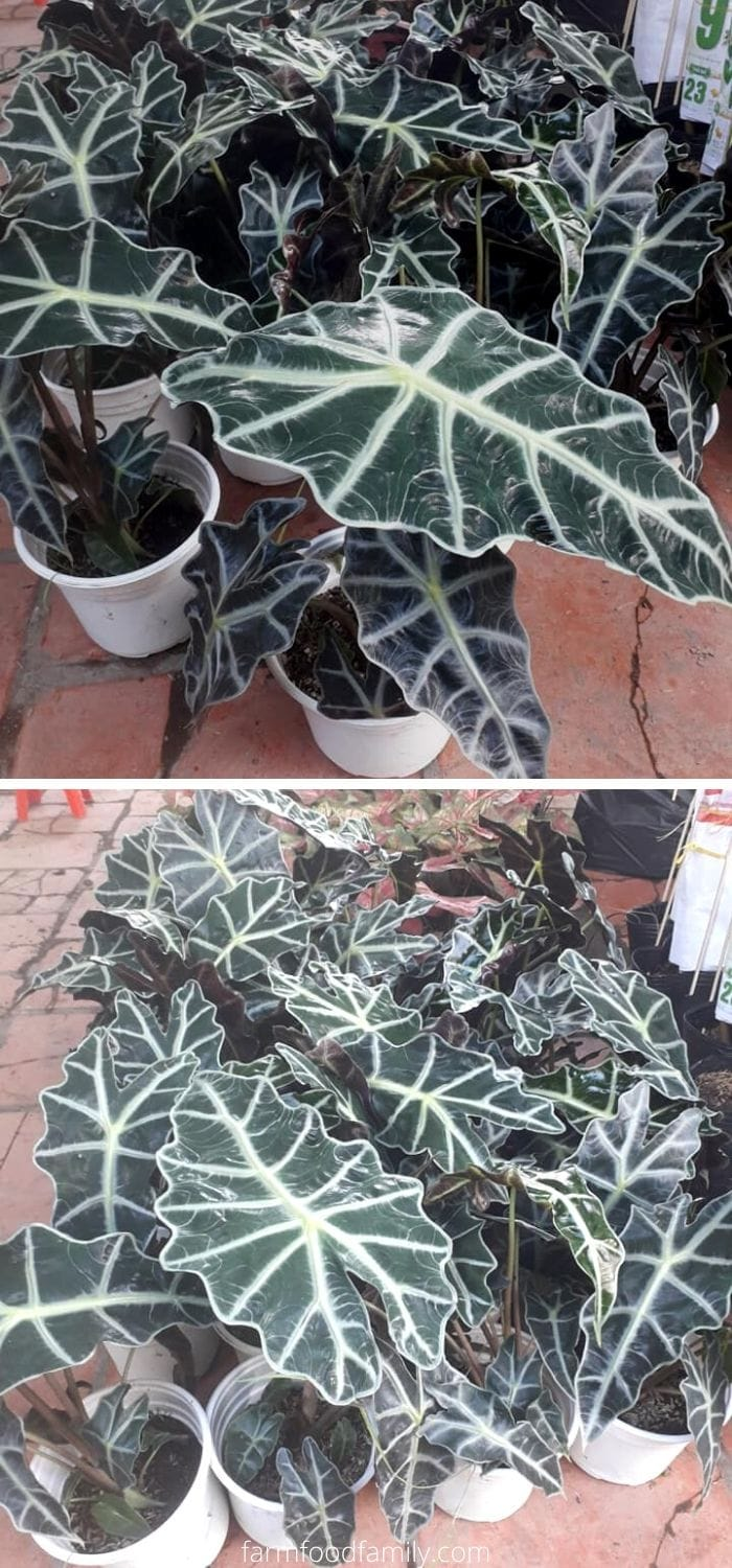 Types of Alocasia Polly plants