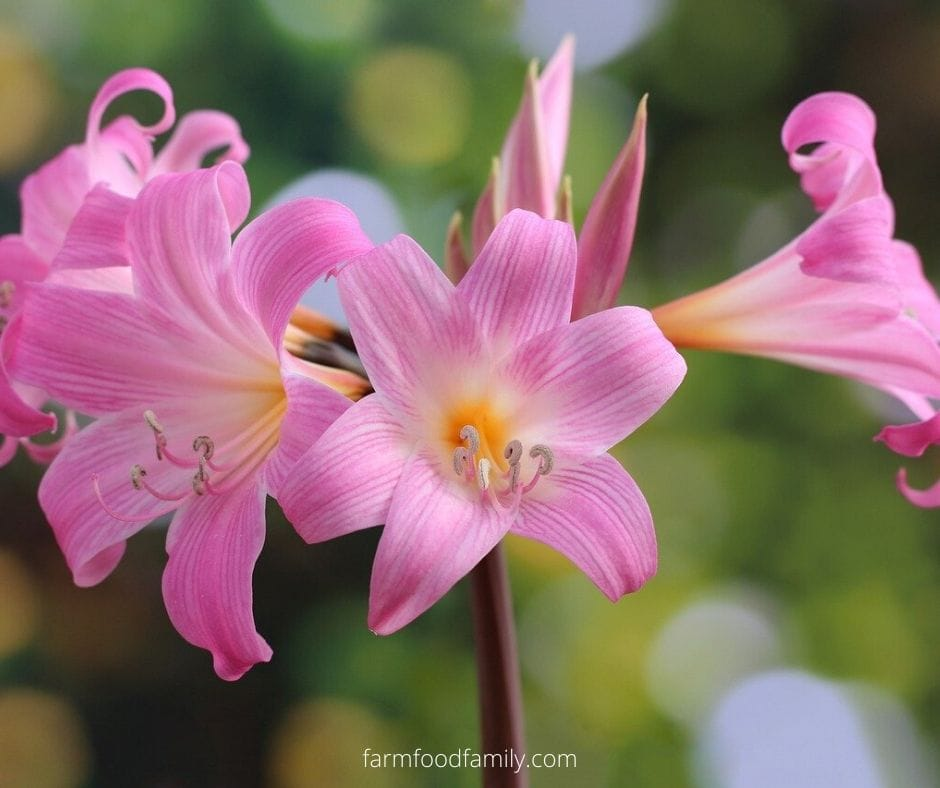 Amaryllis fun facts