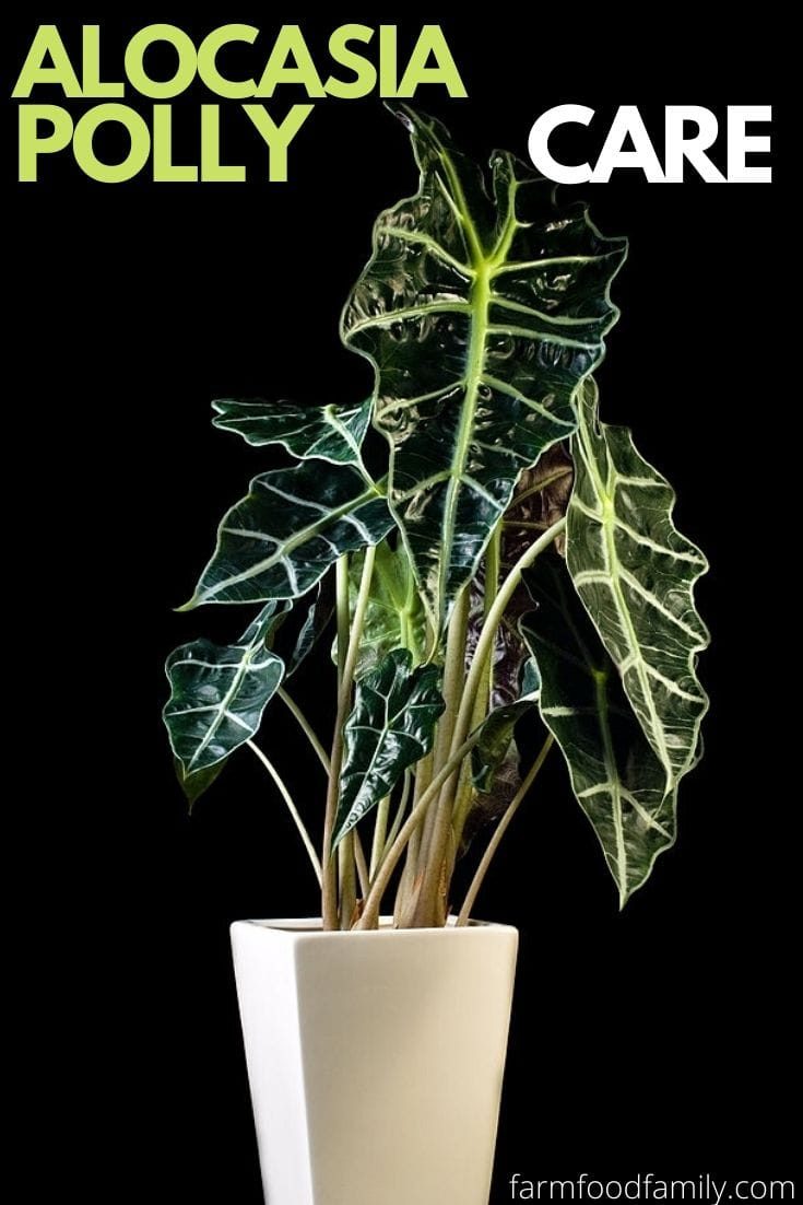 Alocasia Polly: wiki, growing, care, diseases