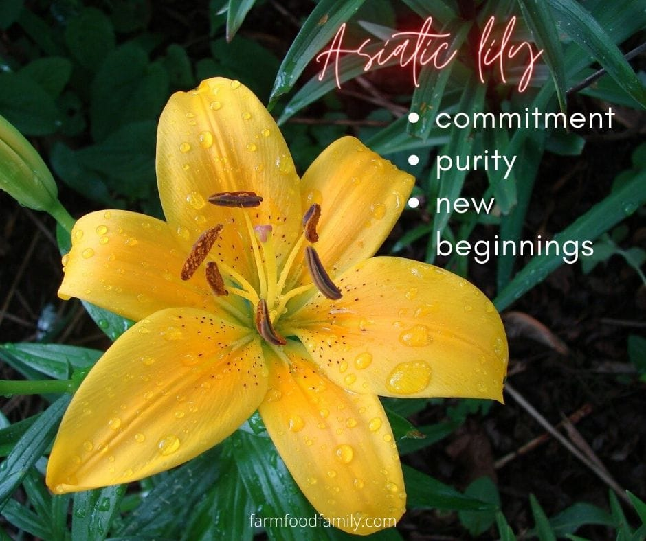 Asiatic lily meaning