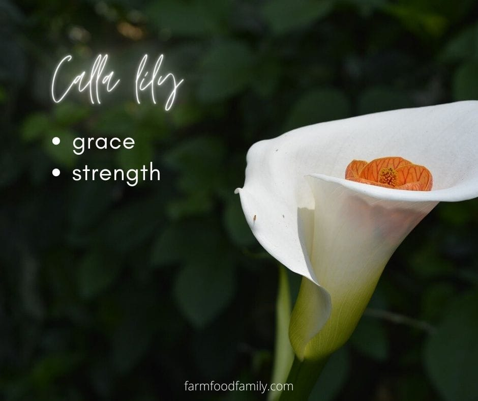 Calla lily meaning