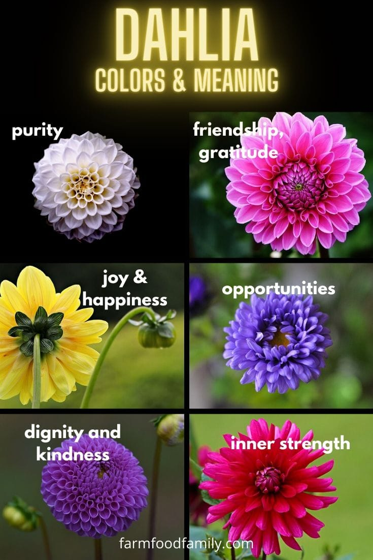 Dahlia flower colors and meaning