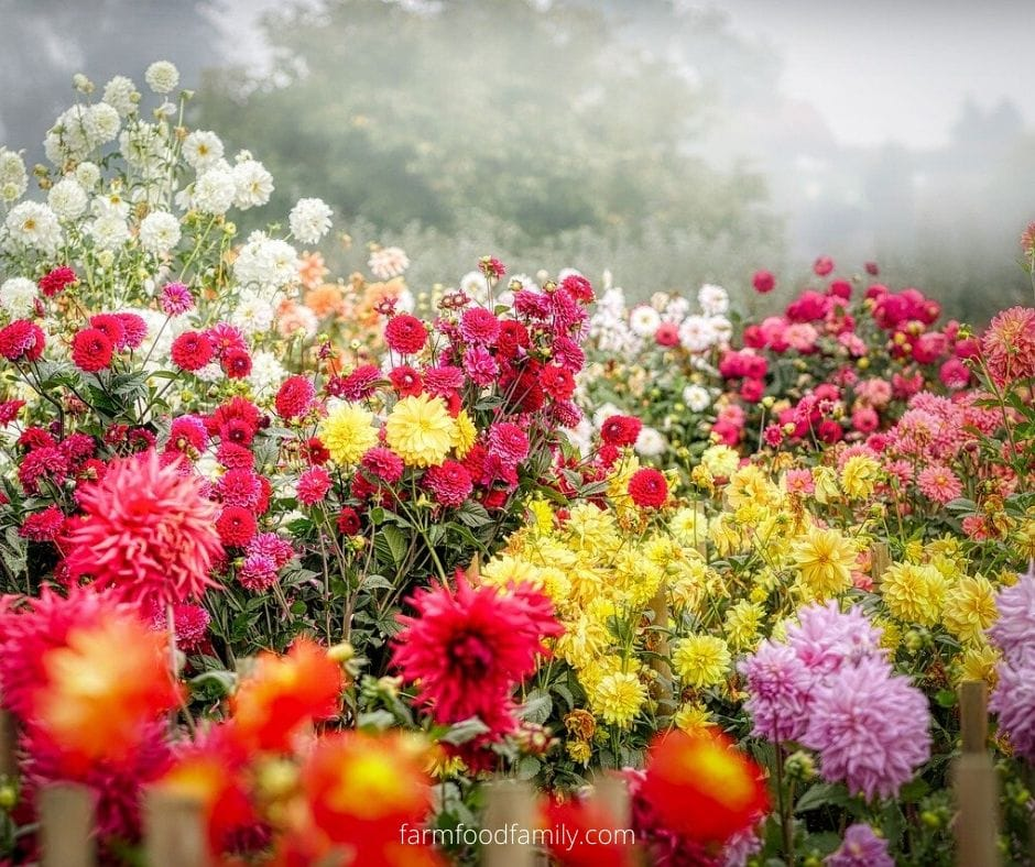 Dahlia meaning in different cultures and religions