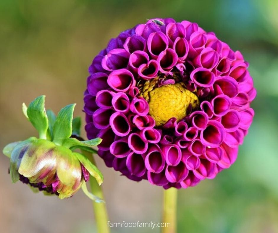 What does the name Dahlia mean?