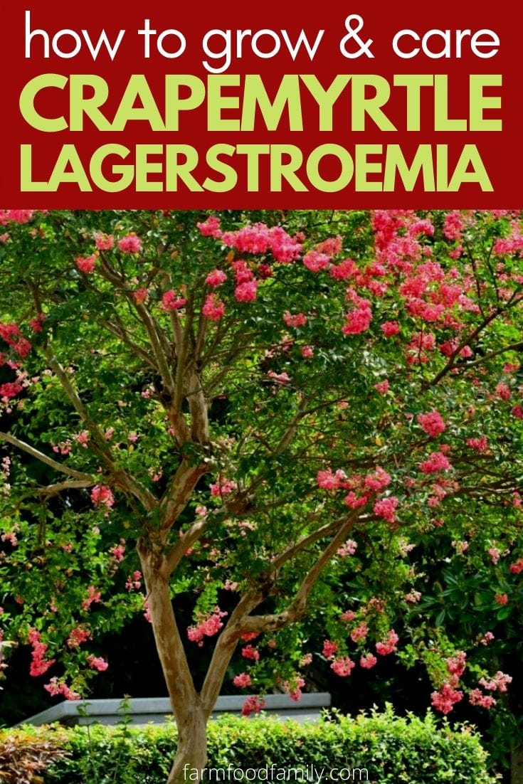 How to grow and care for Crapemyrtle