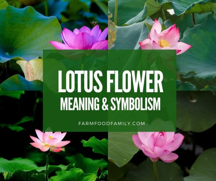 Lotus flower color meaning and symbolism