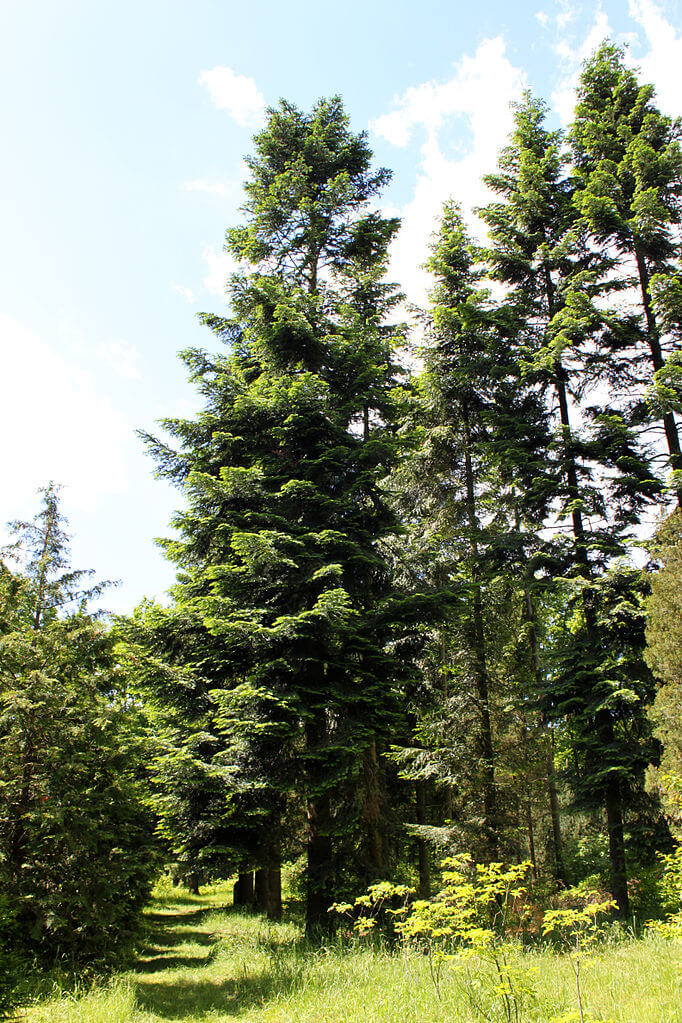 Grand Fir (Abies grandis)
