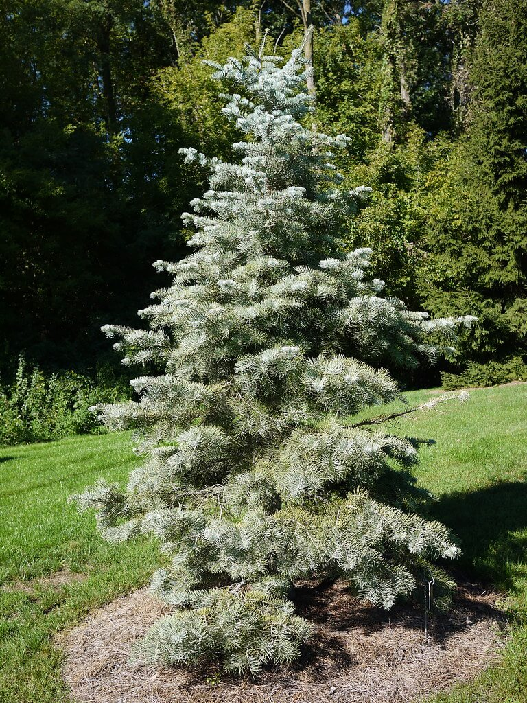 Concolor Fir (Abies concolor)