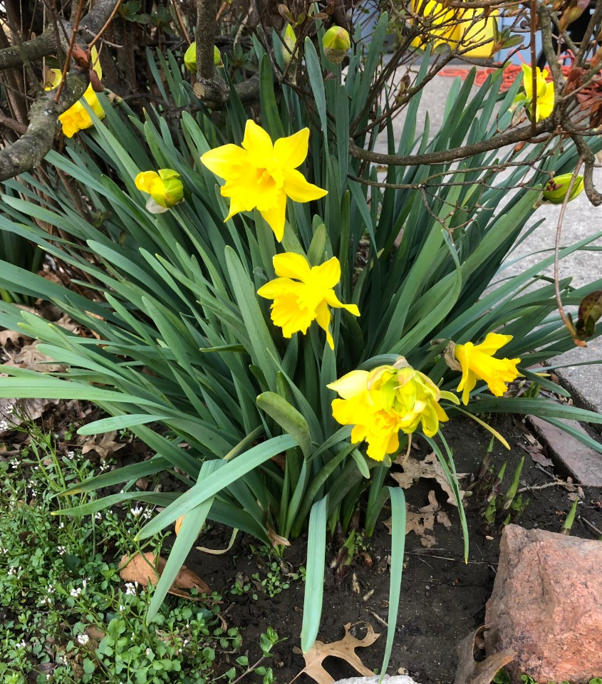 Double Daffodils (Double Narcissus)