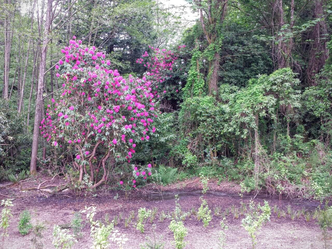 Growing Rhododendron