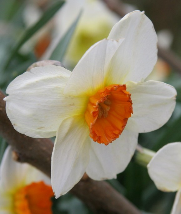 Small-Cupped Daffodils (Narcissus 'Barrett Browning')