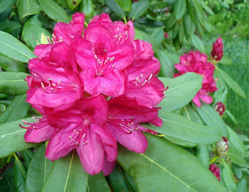 Deep Pink Rhododendron
