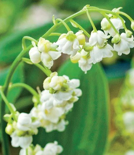 Convallaria majalis 'Prolificans' (Double lily of the valley)
