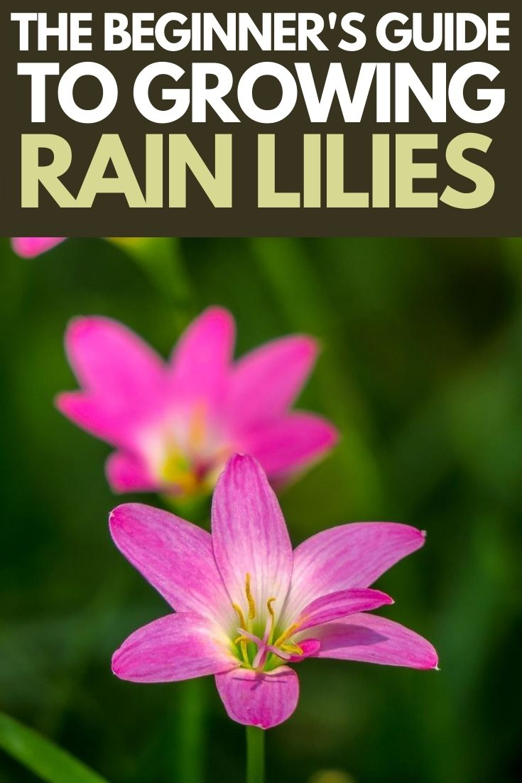 How to grow and care for Rain Lilies