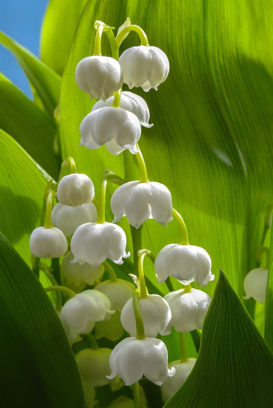 Lily of the valley lighting