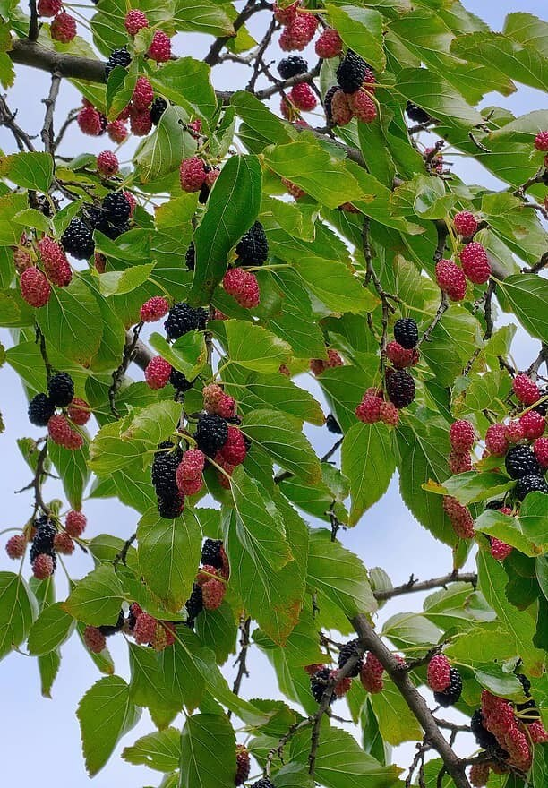 How to Plant and Grow a Mulberry Tree