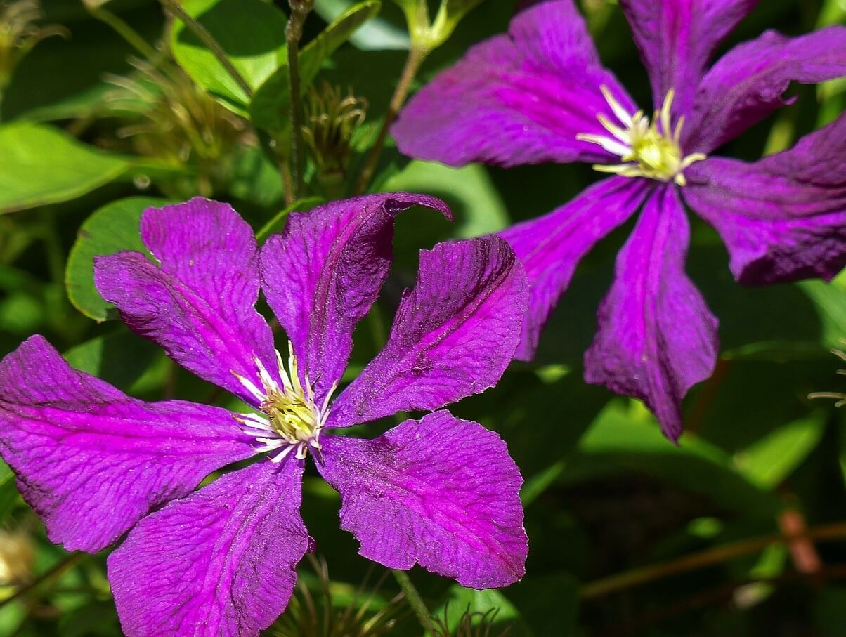 How and When to Prune Climbing Clematis Plants