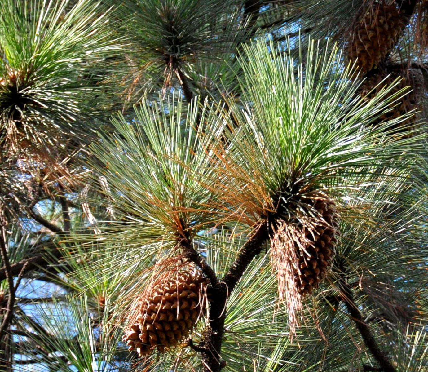 Coulter Pine (Pinus coulteri)