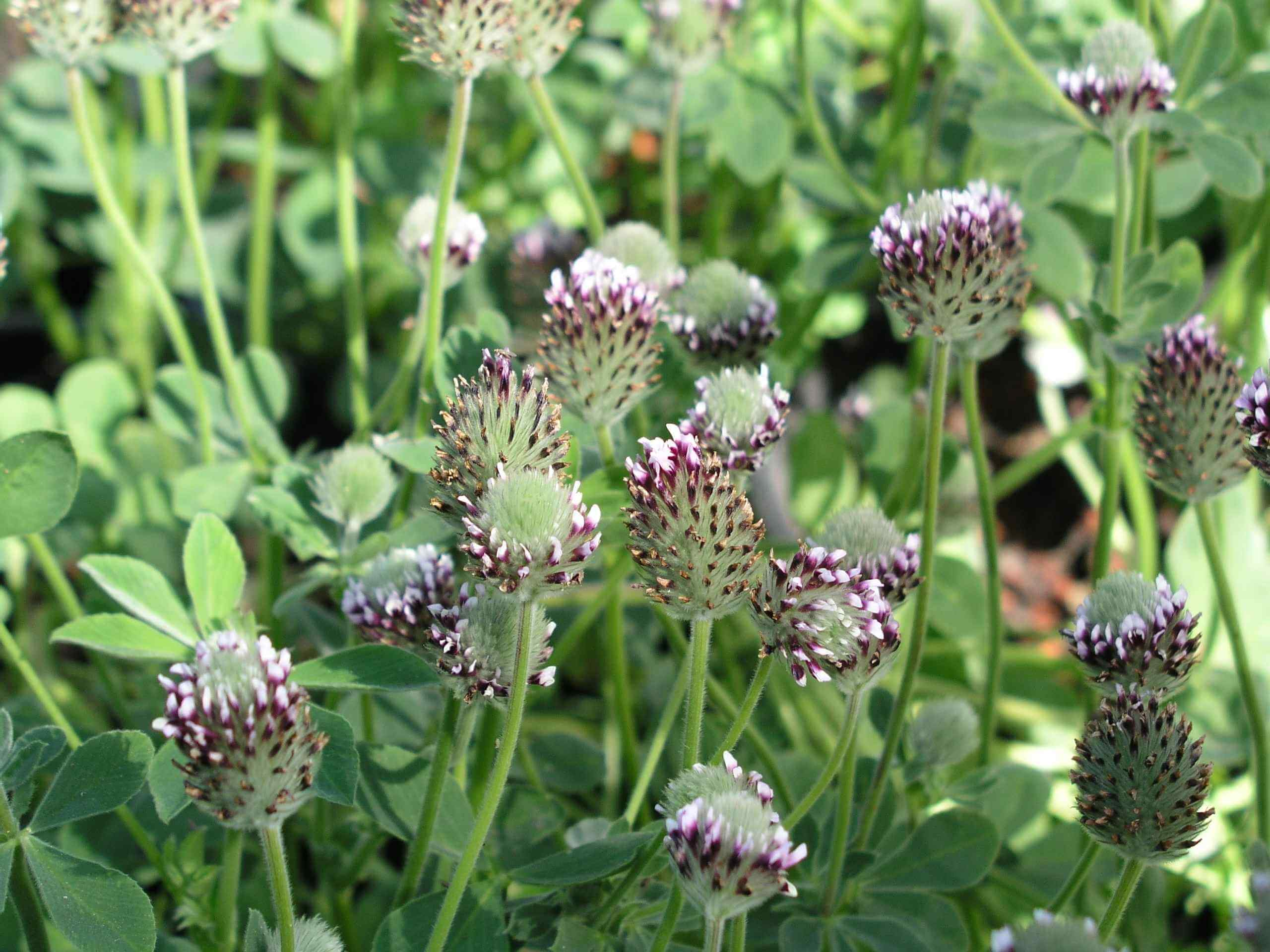 Showy Indian clover/two-fork clover (Trifolium amoenum)