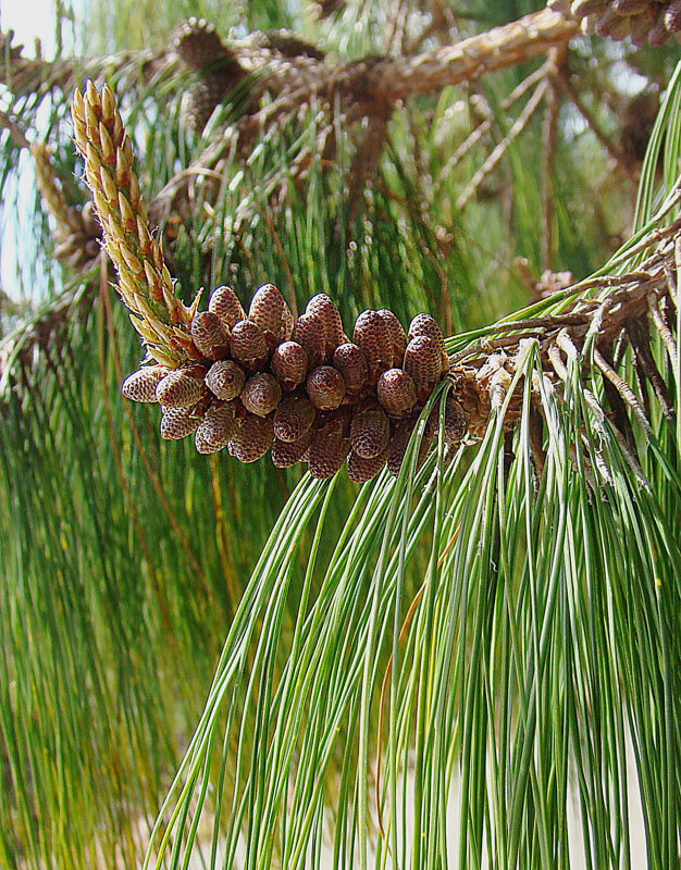 Mexican Weeping Pine (Pinus patula)