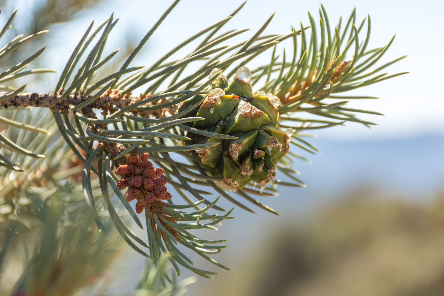 Single-Leaf Pinyon Pine (Pinus monophylla)