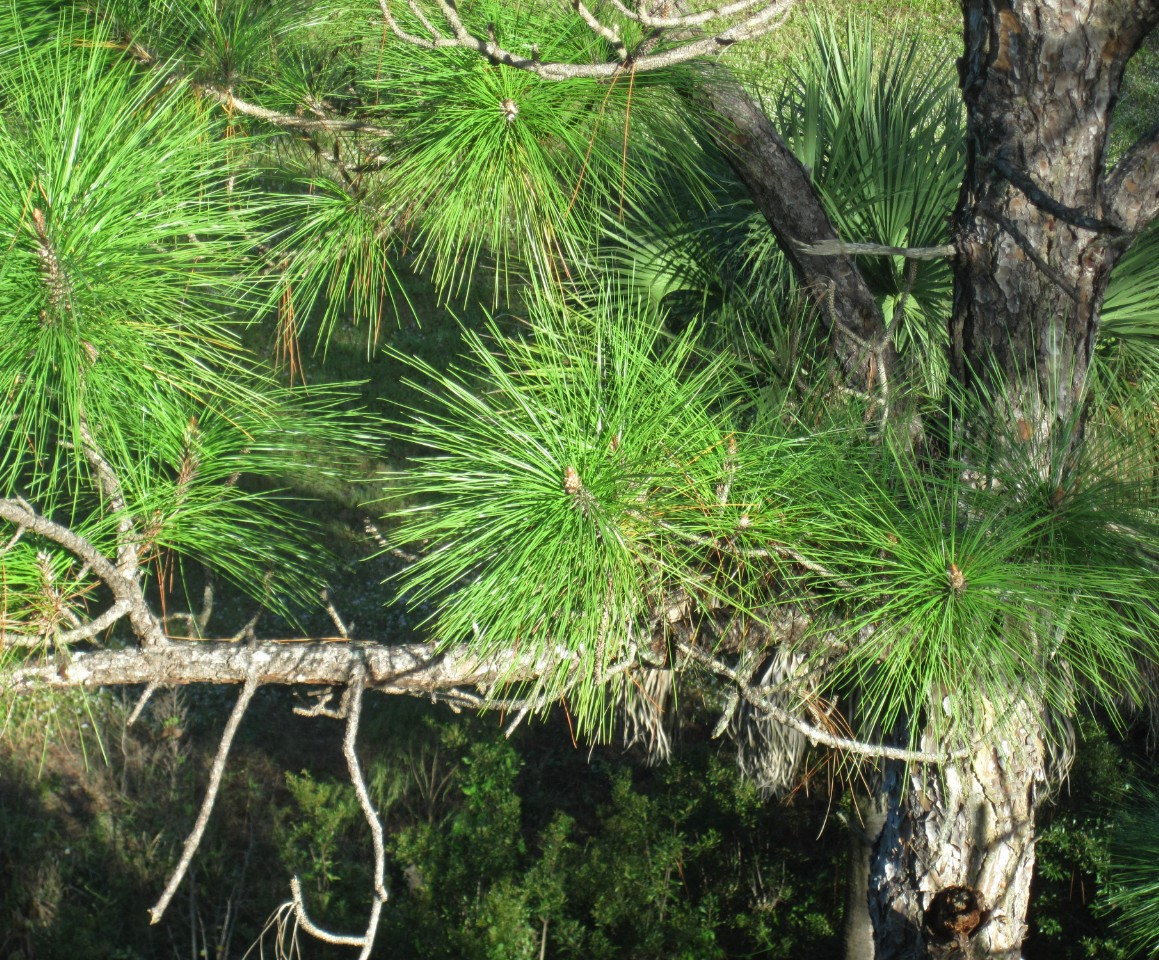 Slash Pine (Pinus elliottii)